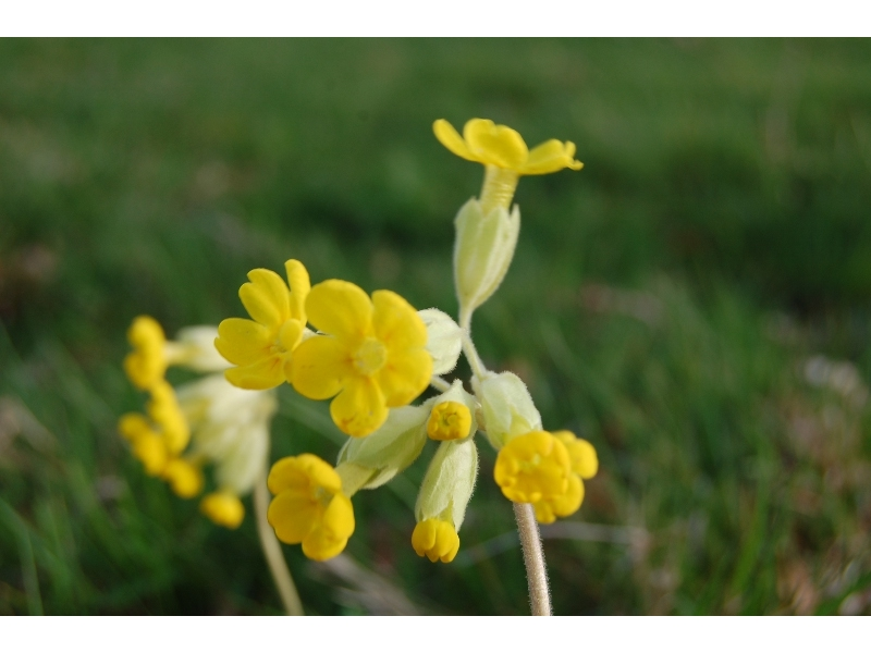 my-little-cowslip